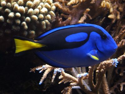 facbe-1280px-blue_tang_2528paracanthurus_hepatus2529_02